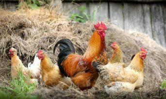 Găinile, cel mai complet ajutor în grădină