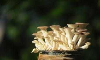 Cum să creşti ciuperci acasă
